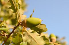 Stock Photo of Oak
