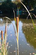 Reed of pond Stock Photos