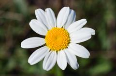 Stock Photo of close up of camomile