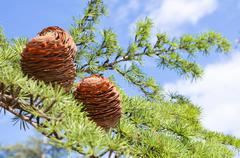 Stock Photo of Branch of pine