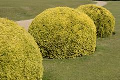 Topiary yew bushes in english country garden Stock Photos