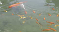 Gold fish pond Stock Footage
