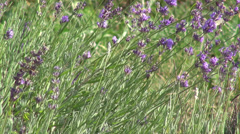 Romantic lavender flowers garden, culinary herb, flowering plants Stock Footage