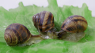 Stock Video Footage of Garden snail on a green leaf