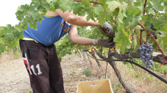 Picking grapes Stock Footage