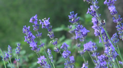 Romantic lavender flowers garden, wind, culinary herb, flowering plants Stock Footage