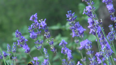 Romantic lavender garden, wind, bumble-bee, culinary herb, flowering plants Stock Footage