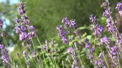 Romantic lavender flower garden, culinary herb, flowering plants Stock Footage