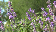 Stock Video Footage of Romantic lavender flower garden, culinary herb, flowering plants