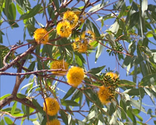 Globular yellow flower heads of Acacia - low angle Stock Footage