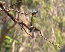 Rainbow bee-eater (Merops ornatus) perched on branch, calling Stock Footage
