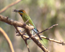 Rainbow bee-eater (Merops ornatus) rubbing insect against branch - close up Stock Footage