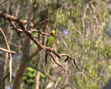 Rainbow bee-eater (Merops ornatus) perched on branch Stock Footage