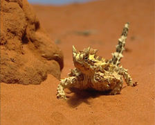 Thorny devil (Moloch horridus) in red desert landscape - on camera Stock Footage