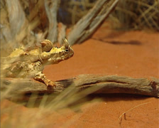 Thorny devil (Moloch horridus) in red desert landscape - side view. Stock Footage