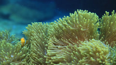 Clarks anemonefish - stock footage