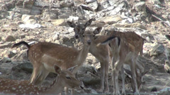 Five cute female deer in the mountain forest, herd of animals - stock footage