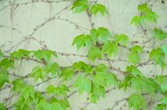 decorative grapes - stock photo