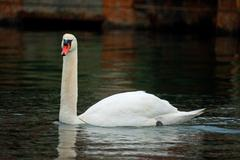 Floating, solitary mute swan Stock Photos