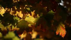 fall, autumn, leaf, leaves, foliage, sun - stock footage