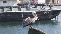 California Brown Pelican Stock Footage