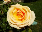 Stock Photo of close up of  a rose, masandra palace garden, crimea peninsula