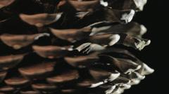 Pinecone rotating, Closeup Stock Footage