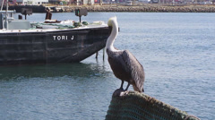 California Brown Pelican Stock Footage