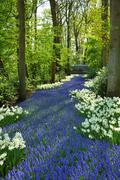 Grape hyacinth and white daffodils in keukenhof park in holland Stock Photos