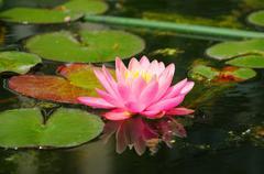 Pink lily (lilium) in closeup in palmen garten, frankfurt am main, hessen, ge Stock Photos