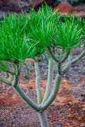 Stock Photo of plant on north-west coast of tenerife near punto teno lighthouse, canarian is