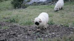 Grazing Wallis Blacknose Sheep Stock Footage