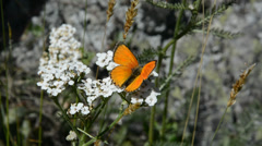 Perfect shot of a Lycaena virgaureae butterfly Stock Footage