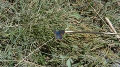 Windy shot of a Mazarine Blue (Polyommatus semiargus) butterfly Stock Footage