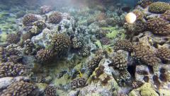 Two Yellow Fish in Molokini Stock Footage