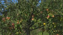 Harvest apple tree organic eco summer autumn orchard branch leaf  Stock Footage