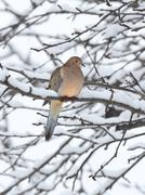 sleeping mourning dove in snow - stock photo