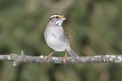 White-throated sparrow Stock Photos