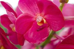 Rad orchids(vanda) Stock Photos