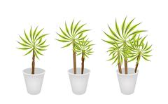Stock Illustration of Beautiful Dracaena Plant in Three Flower Pot