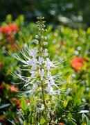 cat's whiskers flower - stock photo