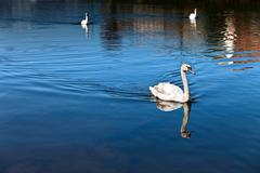 Mute Swan on water Stock Photos