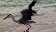 Grey heron hunts for small fish in shallow water. Maldives. Stock Footage