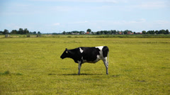 Cow in dutch landscape Stock Footage