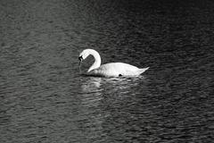 Solitary mute swan in black and white Stock Photos