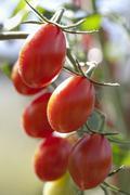 Stock Photo of Plum tomatoes on the vine