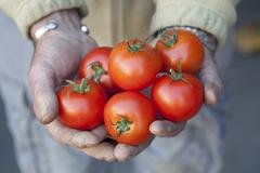 Handful of Tomatoes Stock Photos