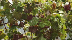 Leaves of Grape Under Snow Stock Footage