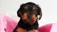 Puppy Yorkshire terrier close-up in pink cloth Stock Footage