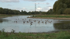 Geese Fobney 10 Stock Footage